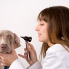All About Dog Ear Infections